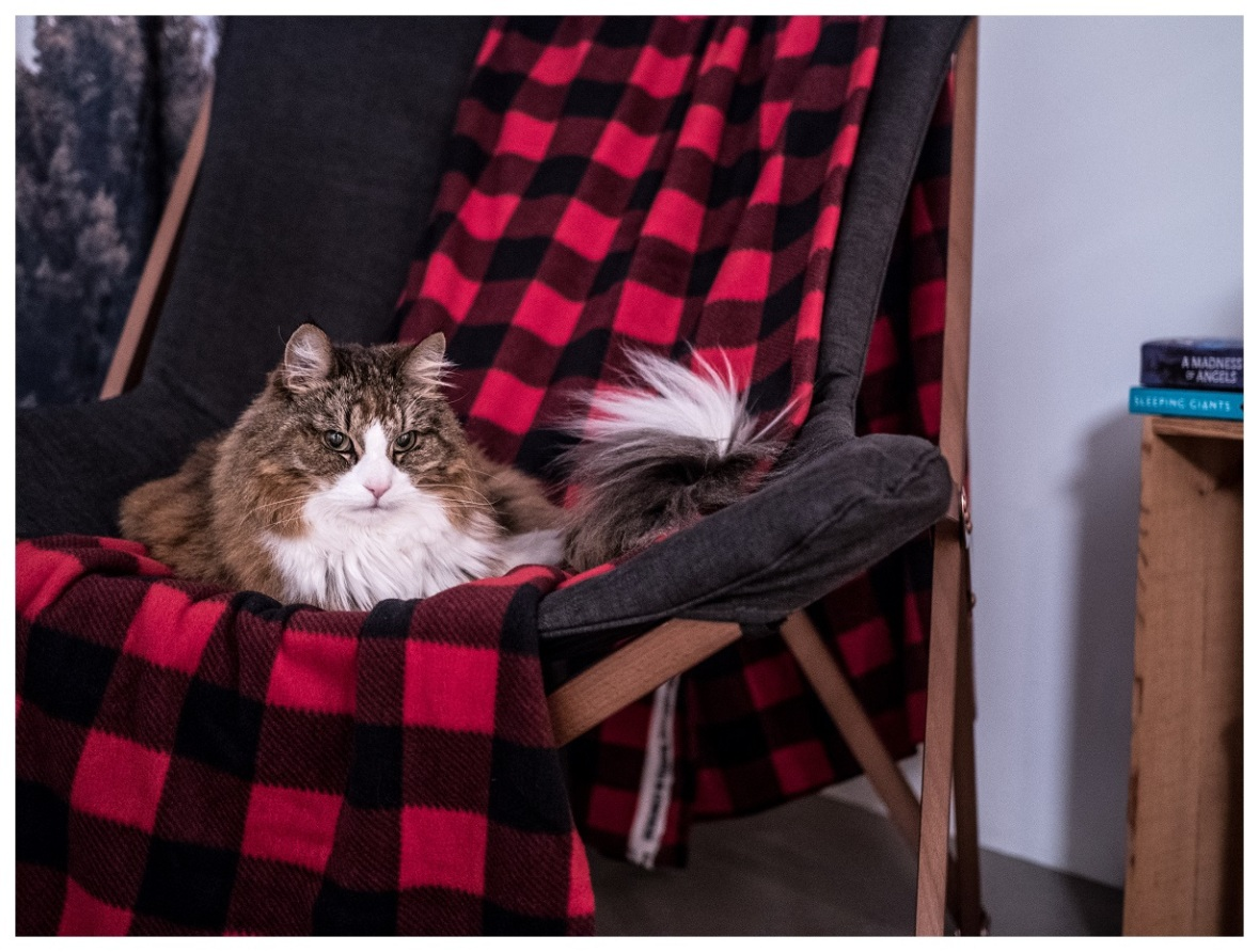 Norwegian Forest Cat in a chair
