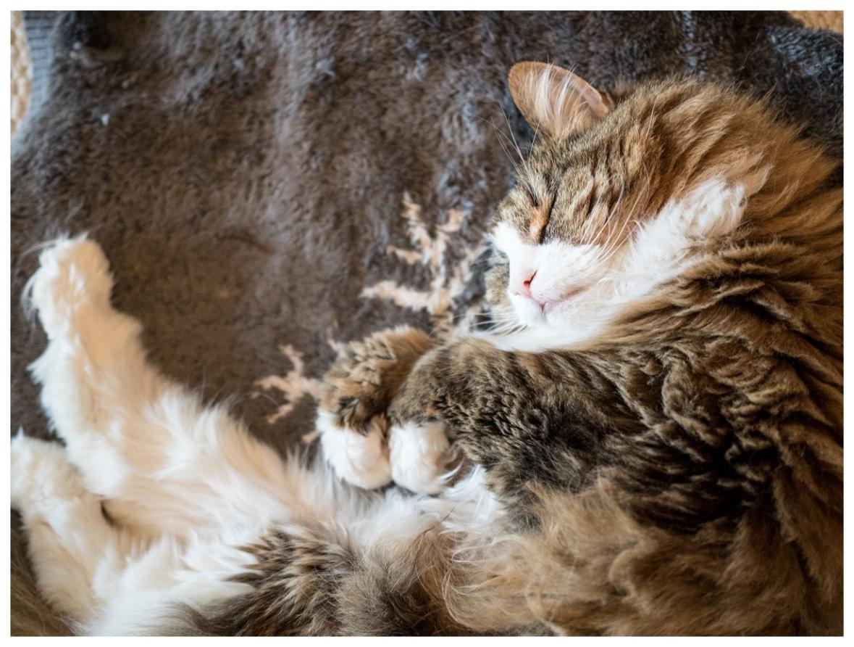 Norwegian Forest Cat sleeping
