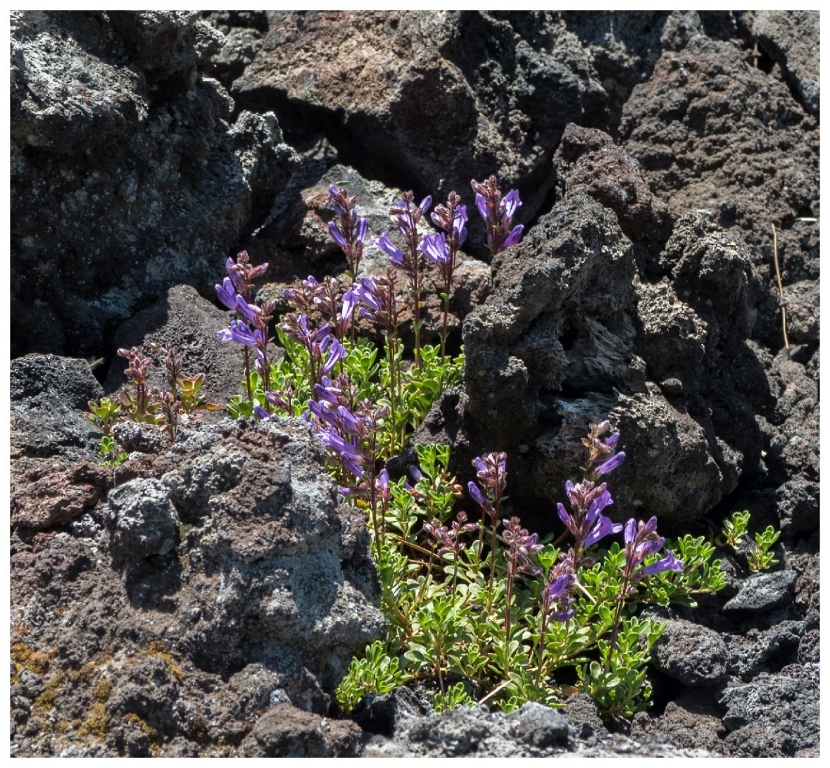 Purple Wildflowers in Lava Rocks
