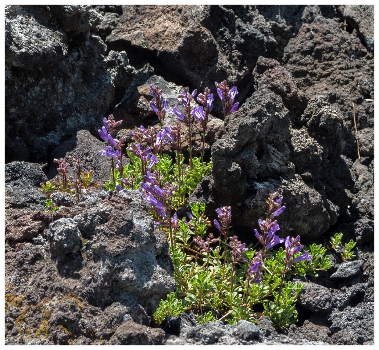 Purple Wildflowers in Lava Rocks